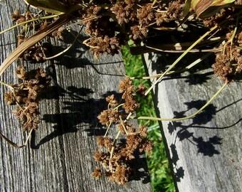 Decorative Grass, Green Bulrush, Unique.  Arrangements, bouquets, floral, dried flowers.