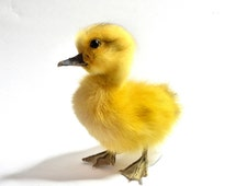 Taxidermy Duckling