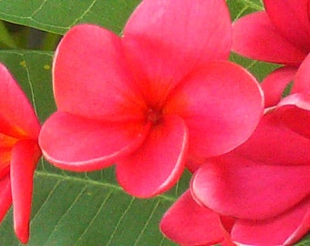 Rooted Plumeria Cutting 'Texas Red' with 4-tips