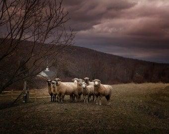 Animal Photography Surreal Landscape Photography Moody Sheep