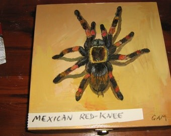 Mexican Red Kneed  bird eating Spider