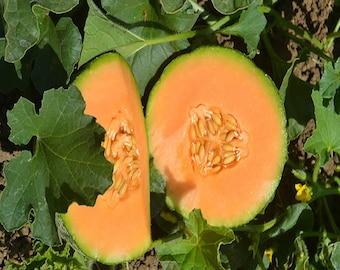 Pack of 15 Minnesota Midget Non-GMO Heirloom Cantaloupe.