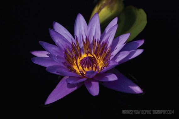Purple Water Lily Canvas Wrap Print