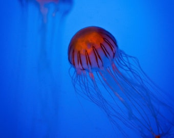 Nature Photography, Jellyfish in Brooklyn Aquarium, Brooklyn, New York, Matted on Black