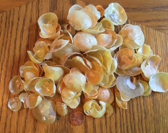 Shells:  mermaid's toenails, various sizes, 100 ct