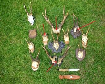 SALE **** Collection roedeer antlers, 1927 * czech taxidermy * trophy * by Marek Švub