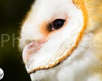 Barn Owl, Owl Photography, Wildlife Photography