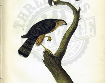 Original 1888 Chromolithograph Print of Sharp Shinned Hawk