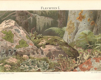 "Original lithographic print 1894, colored antiquarian wall chart, Illustration ""lichen"" , antique lithography"