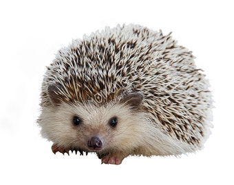 Moments In Time NZ Hedgehog Animal Overlay