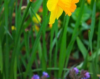 Photo Canvas. Daffodil in the sun