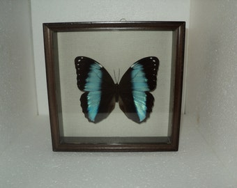 Nymphalidae  Morpho in frame made of expensive wood