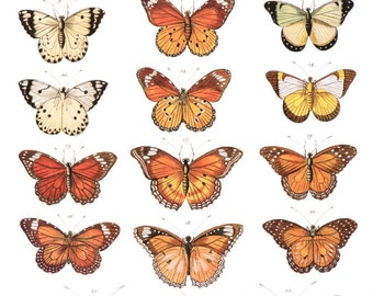Butterfly Vintage Animal Life Print, Albertus Seba, Natural History Scientific Art, Museum Quality Giclee Art Print, c. 1734