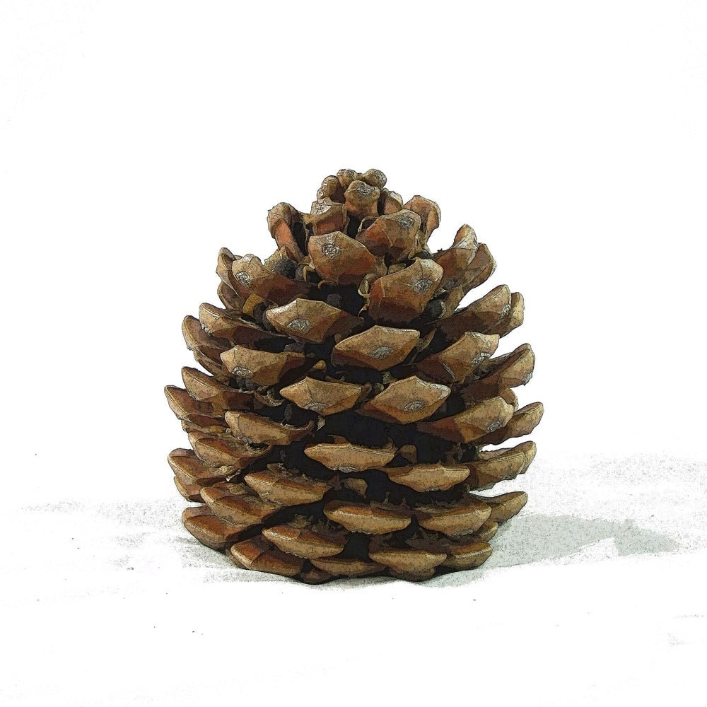 Botanical Print Pinecone Pine Cone Wall Art Nature By