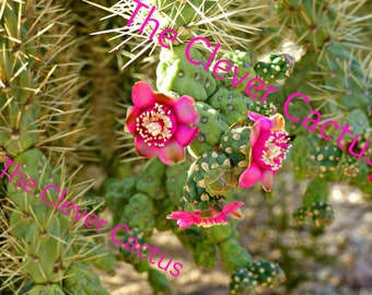 Flowers on a Prickly Pear