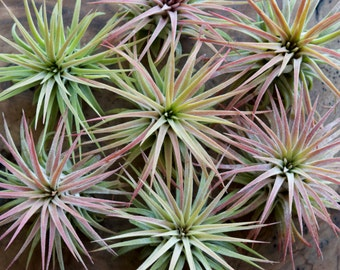 SALE 40% OFF! Tillandsia Ionantha Rubra Air Plant