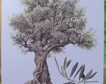 Board teaching Botany from the C.Caspari originals, olive tree (Olea Europaea)