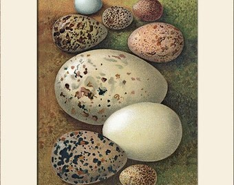 Bird Eggs Print, (Skylark, Wigeon, etc.) Thorburn, Art Print with Mat, Note Card, Natural History, Wall Art, Wall Decor, Cottage Decor