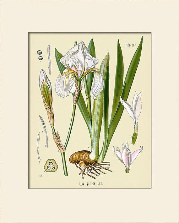 Botanical Print, Iris Art Print, Art Print with Mat, Natural History Illustration, Wall Art, Wall Decor, Köhler's Medicinal Plants