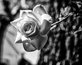 Rose, Rose Photography, Black and White Rose, Flower Photography, Nature Photography, Canvas Print, Wall Art, Black & White Photography