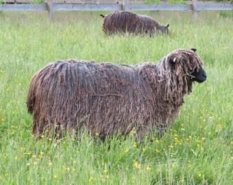 Raw Black Wensleydale Wool Fleece
