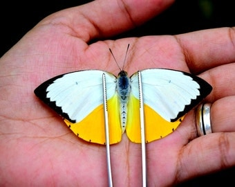 Real butterfly - Catopsilia scylla, beautiful butterfly, cute butterfly, real insects, You Can Choose Spread wings or Unspread wings