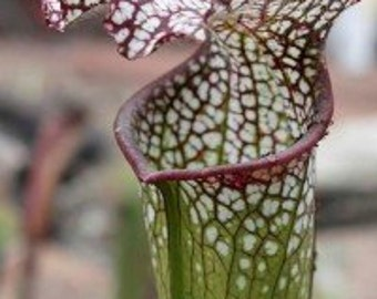 White Topped Pitcher Plant 5 Seeds (Sarracenia leucophylla) preposterously flamboyant pitcher