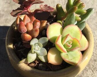DIY succulent  kit---6pcs succulent,1bag succulent soil, 1pc miniplanter ---have a drainage hole