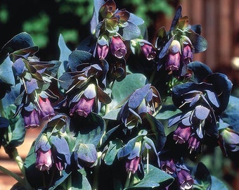 Honeywort  Seeds /  Cerinthe major Purpurascens Boraginaceae