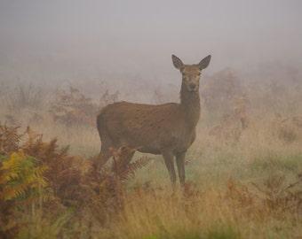 dawn doe, nature, mist, golden