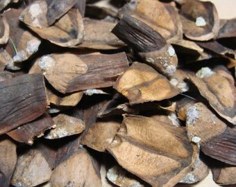 Eastern White Pine Cone Scales, Pine Shingles 1 0z