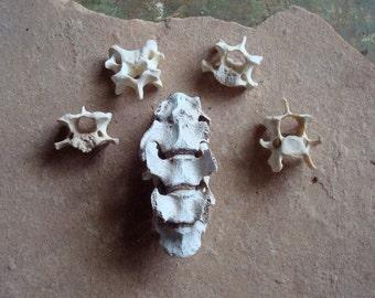 Backbone Vertebrae Connected Deer Bones for Altered Art Supplies Assemblage Sculpture