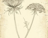 Queen Anne's Lace | fine art print