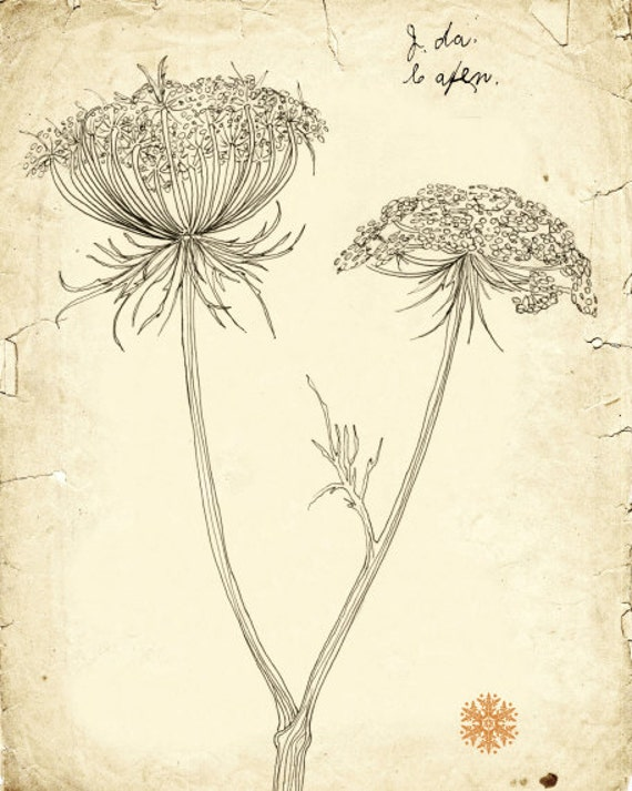 Queen Anne's Lace - archival print - botanical art - plant line drawing