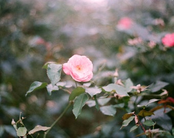 Secret Garden, Sintra -  original fine art film photograph of a light pink rose flower against green foliage. HALF PRICE SALE