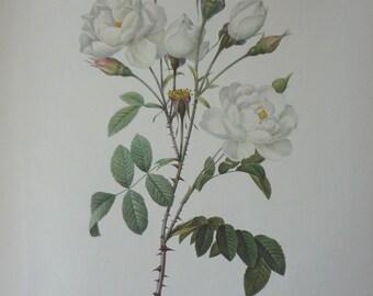 Roses 1954 Vintage Print Pierre Joseph Redoute #15 - Cottage Chic - EnglishPreserves