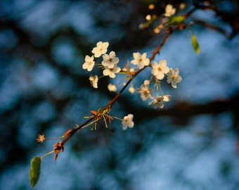 Cherry Blossoms in Blue - 5 x 5 Photograph Print