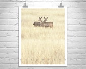 Wildlife Art, Nature Photography, Deer Photo, Prairies, Grasslands, Pale Yellow, Fine Art Photography, Wall Art, Southern Arizona