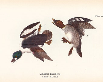 1890 Audubon Bird Print - American Golden Eye Duck - Vintage Antique Book Plate Natural Science History Great for Framing 100 Years Old