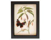 Framed Butterfly Print with Real Red Admiral Specimen Art