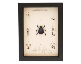 Framed Scarab Beetle Anatomy Natural History Display
