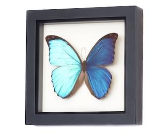 Framed Blue Morpho Butterfly Wedding Gift Display