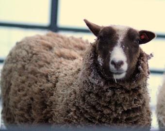 raw shetland wool moorit (brown) fleece 4oz