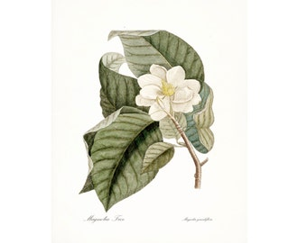 Vintage Magnolia Illustration - Traditional Botanical Natural History Giclee Art Print