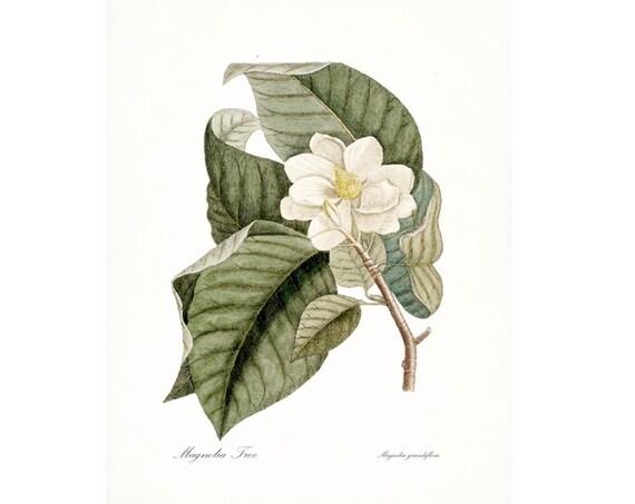 Vintage Magnolia Illustration - Traditional Botanical Natural History Giclee Art Print