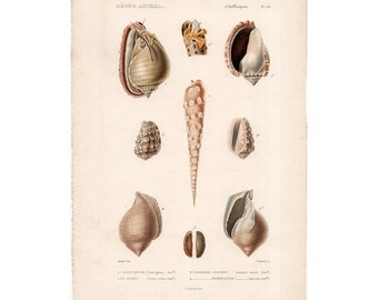 1836 SEA SHELL ENGRAVING print original antique rare sea life ocean marine beach print