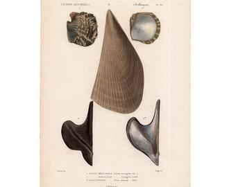 1836 SEA SHELL ENGRAVING print original antique rare sea life ocean marine beach print