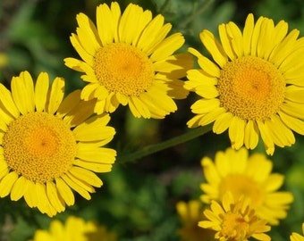 Daisy, Kelway Daisy Dyer's Chamomile Seeds | Exceptional Flower for Drought Tolerant Home Gardens anthemis tinctoria