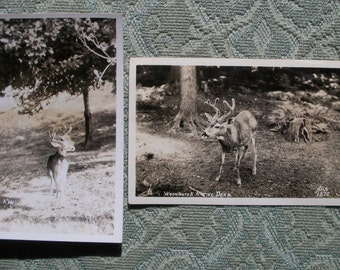 Post Cards RPPCs - Two Dear Deer, 2 Photographs