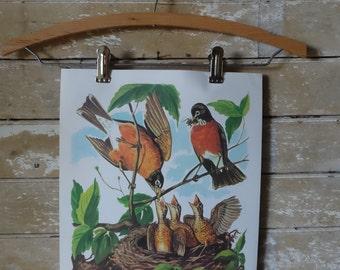 Vintage Retro Teaching Print 1964 Robin Bird Family